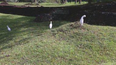 The view of herons in Sigiriya — Stock Video