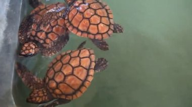 Baby turtles swimming in pool — Wideo stockowe