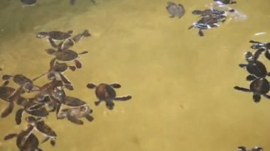 Baby turtles swimming in a pool — Stock video