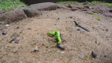 Ants eating a green caterpillar — Stock Video