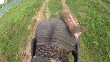 Aerial view of elephant ride with head and flapping ears — Stock Video