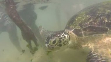 Turtle being fed seaweed by local man to entertain tourists — Stock Video