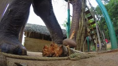 Elephant in natural surroundings chewing banana tree trunk. — Video Stock