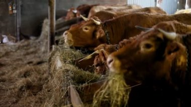 Cows eating hay — Stock Video
