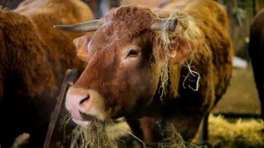 干し草を食べる牛 — ストックビデオ