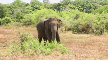 Elephant in Yala National Park — Vídeo de Stock