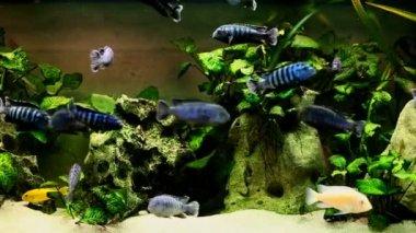 Pesce nuotare nell'acquario — Video Stock