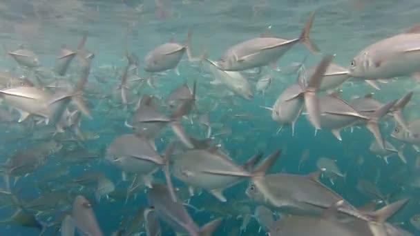Shoal of jack fish — Vidéo