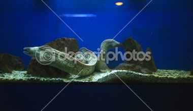 Group of moray eels — Stock Video
