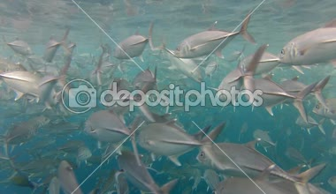 Shoal of jack fish — Stock Video