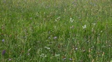 Wild flowers in field — Stock Video
