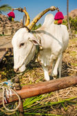 Decorated Indian ox — Stock Photo