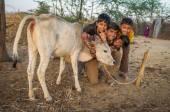 Boys from Rabari tribe and calf pose. — Stock Photo