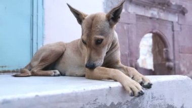 犬が壁の上に敷設 — ストックビデオ