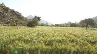 Sunny wheat field in Jodhpur. — Stock Video