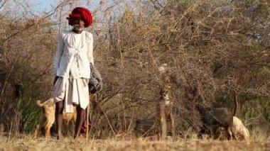 Cattle keeper on field — Stock Video