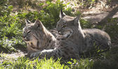 A Pair of Bobcats in Dappled Sunshine — Stock Photo