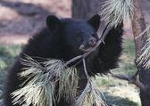 A Portrait of a Sad Black Bear Cub — Stock Photo