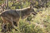 A Portrait of a Coyote, Canis latrans — Stock Photo