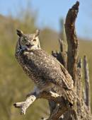 A Great Horned Owl on an Old Snag — Stock Photo