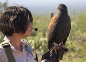 A Harris's Hawk on a Zoo Docent's Glove — Stock Photo