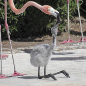 A Mother Flamingo Tends Her Large Chick — Stock Photo