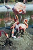 A Mother Flamingo Tends Her Large Egg — Stock Photo