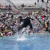 A Killer Whale Breaches in an Oceanarium Show — Stock Photo