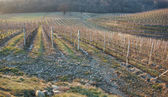 Vineyards at winter time — Stock Photo
