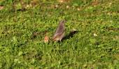 Common redstart bird — Stock Photo