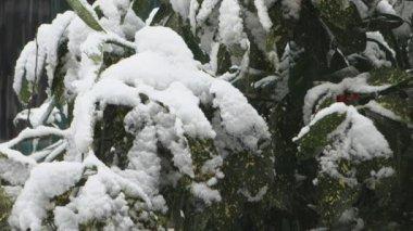 Acuba japonica Variegata — Stock Video