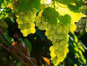 Yeşil üzüm asma üzerinde — Stok fotoğraf