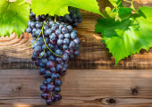 Bunche of blue grapes on vine — Stock Photo