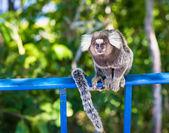 Monkey Marmoset in Rio de Janeiro — Stock Photo