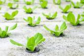 Young green cos lettuce/ butterhead — Stock Photo