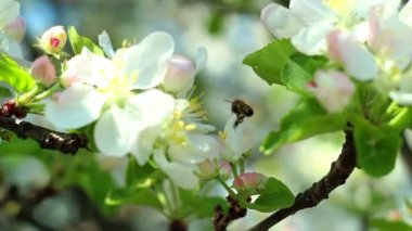 Spring blossom background with honeybee — Stock Video