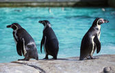 Three Humboldt Penguin — Foto de Stock