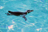 Swimming Humboldt Penguin — 图库照片