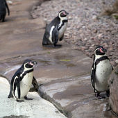 Humboldt Penguins — Fotografia Stock
