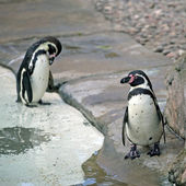 Humboldt Penguins — Foto de Stock