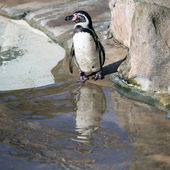 Humboldt Penguin and its reflection — Foto de Stock