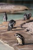 Humboldt Penguins — Stock Photo