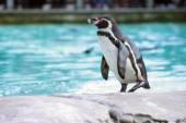Pingwin Humboldta — Zdjęcie stockowe