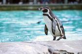 Tučňák Humboldtův — Stock fotografie