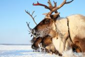 Reindeer in frosty day — Stock Photo
