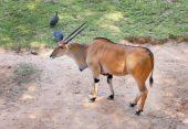 Taurotragus oryx — Stock Photo