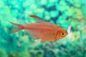 Hyphessobrycon equadoriensis — Stock Photo
