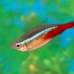 Bright small fish neon in an aquarium — Stock Photo #63314207