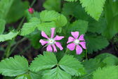 Raspberry. Two flowers of a plant — Stock Photo