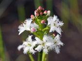 Waterdrieblad trifoliata. bloemen en knoppen van een plant — Stockfoto